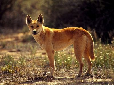 dingo blamed for 1980 australian baby disappearance case daily gossip
